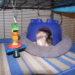 Large igloos fit in ferret beds!